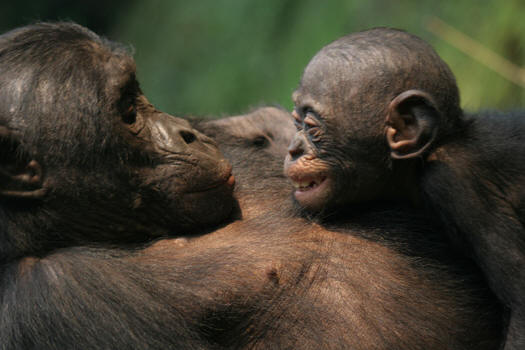 http://www.outlookseries.com/A0998/Science/bonobos.jpg